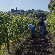 Vendanges à Marcilly-le-Châtel